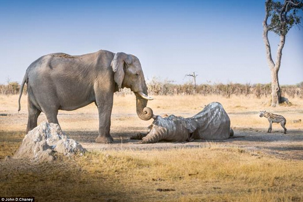 A safari group came upon a carcass of a dead elephant. When they approached it, a female elephant charged from the bushes to protect the body. Then, she lovingly held his tusk with her trunk.