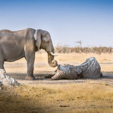 What This Elephant Did When Her Loved One Died is So Beautiful. It's Hard Not To Cry.