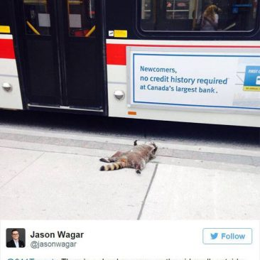 Dead Raccoon, the whole story